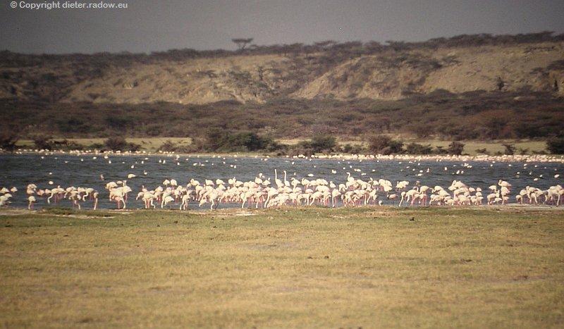Flamingos in Äthiopien