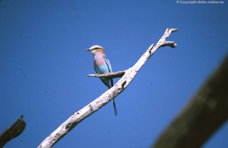 Gabelracke in Botswana