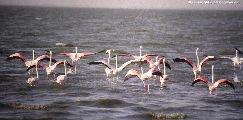 Große Flamingos Äthiopien