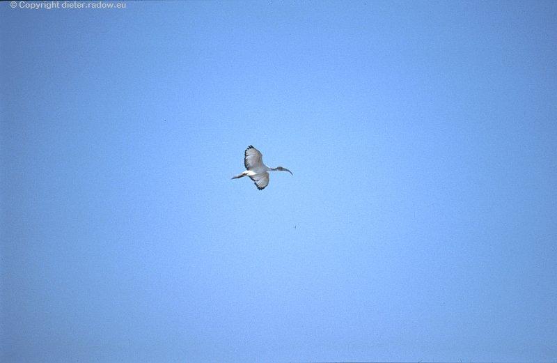 Heiliger Ibis im Flug