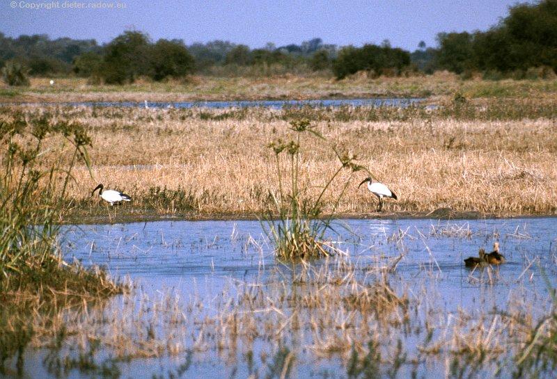 Heiliger Ibis im Okawango-Delta