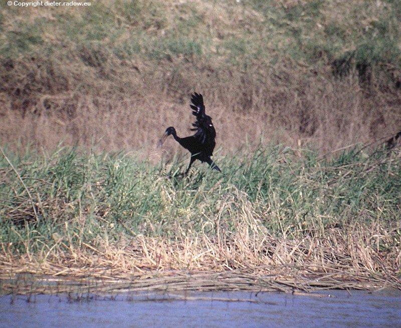 Klaffschnabel-Storch