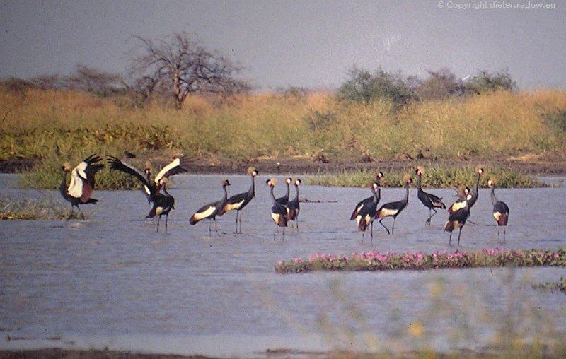 Kronenkraniche im Tschad