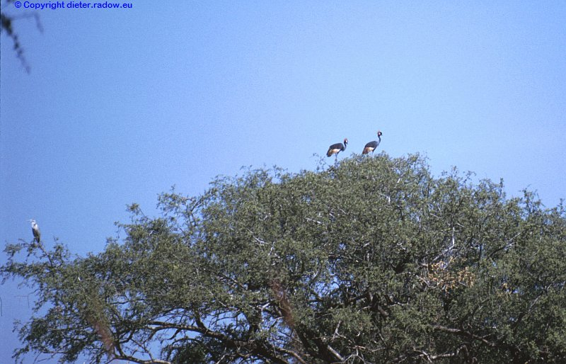 Kronenkraniche zwei im Baum
