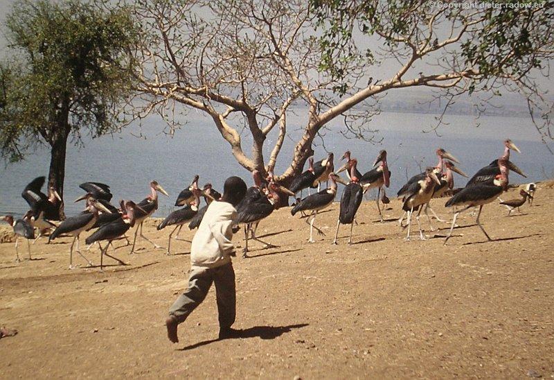Marabus in Äthiopien