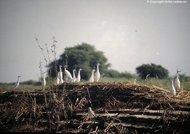 Mittelreiher im Nest Tschad