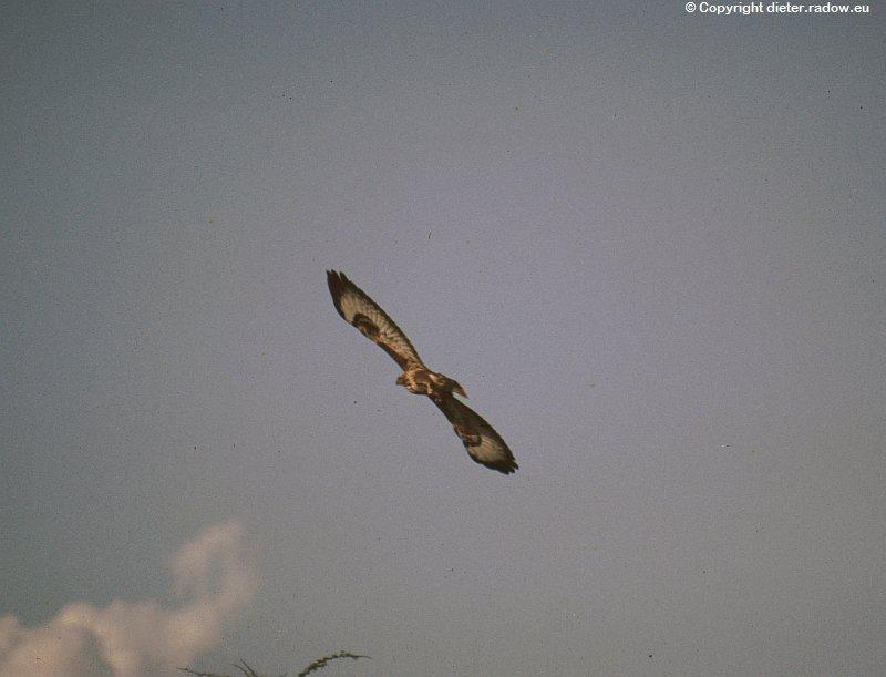Mohrenweihe (Black Harrier)