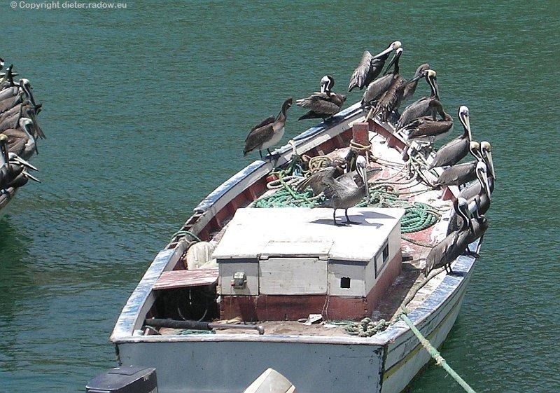 Pelikan amer.