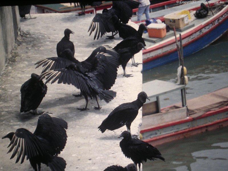 Schwarzgeier in Panama