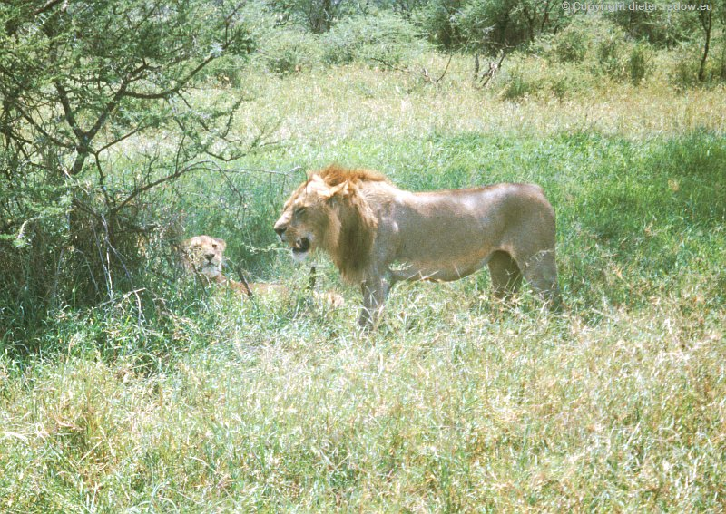 Serengeti Löwenpaar nach Kopulation