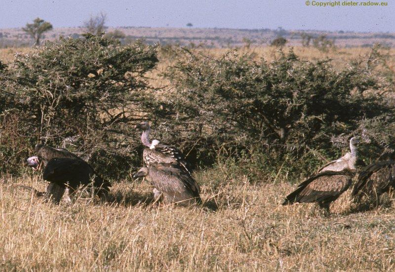 Sperbergeier (Ruppels Vulture)