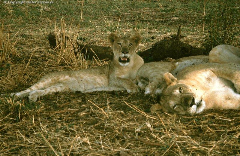Srengeti Löwen 3