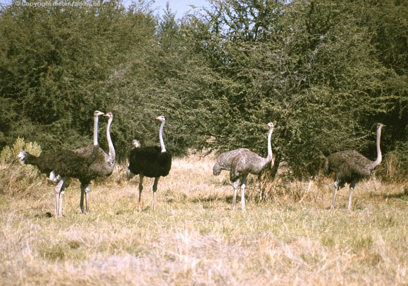 Strauße in Botswana