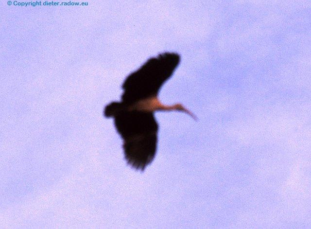Tawny Hageda-Ibis im Flug