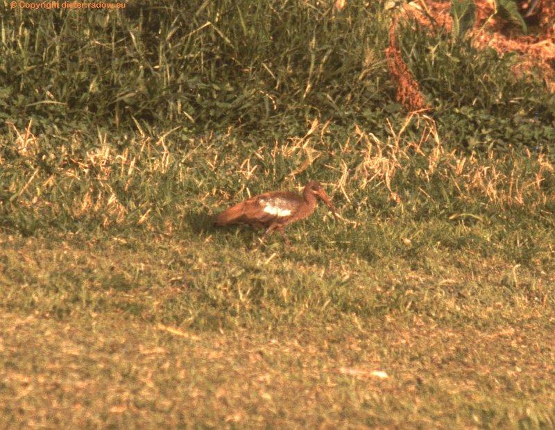 Hagedasch-Ibis