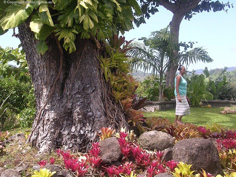 Tropengartenbaum