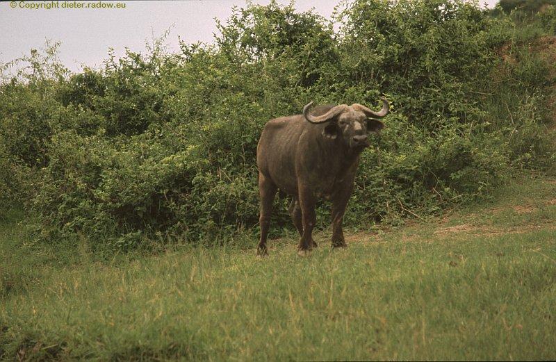 Uganda Büffel,ich zu Fuß allein eine gefährliche Begegnung