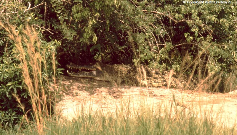 Uganda lauerdes Krokodi