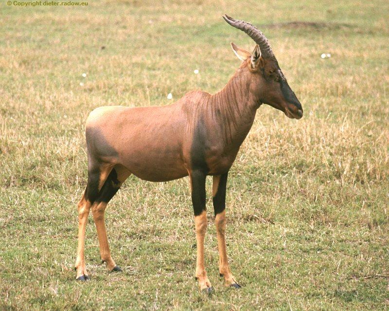 W Kudu