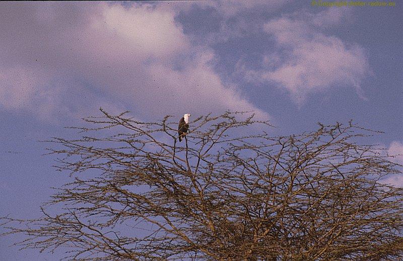 Weißkopf-Fischadler x