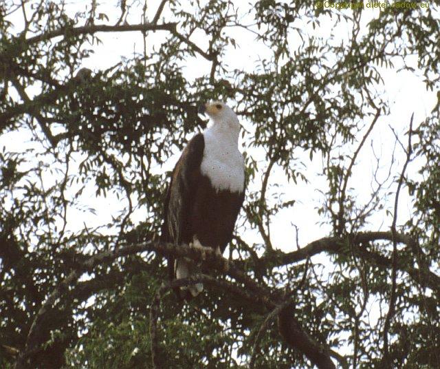 Weißkopf-Fischadler