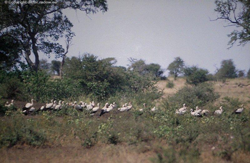 Weißstorche aus Europa