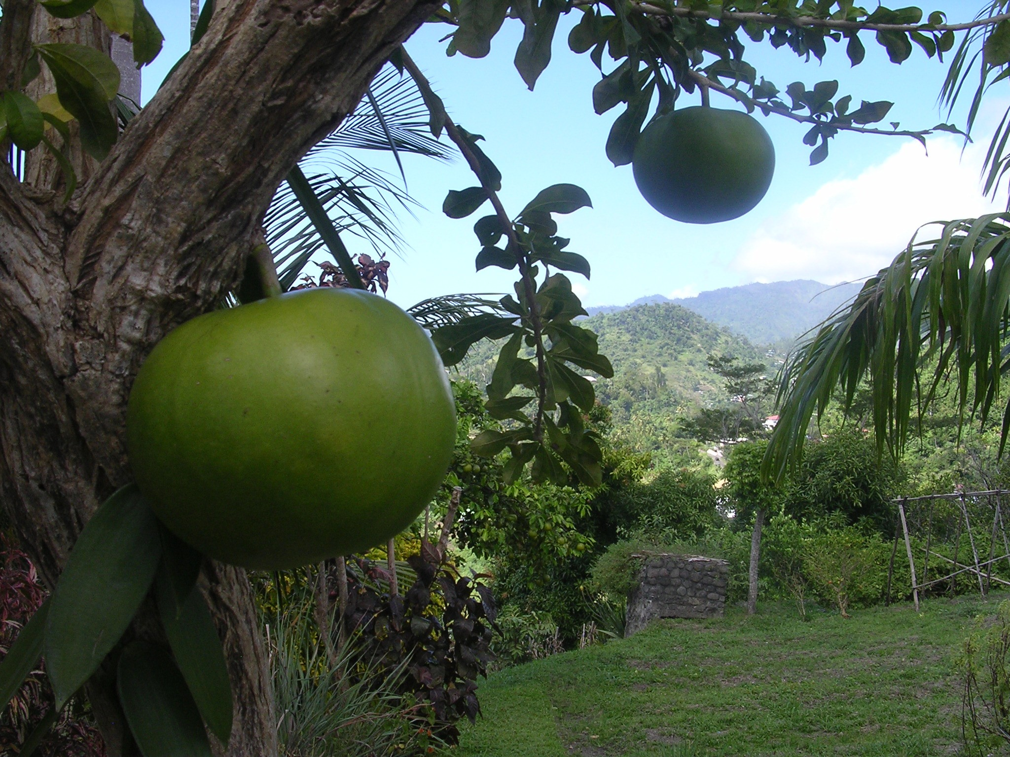 Tobago große grüne Früchte am Gartenbaum