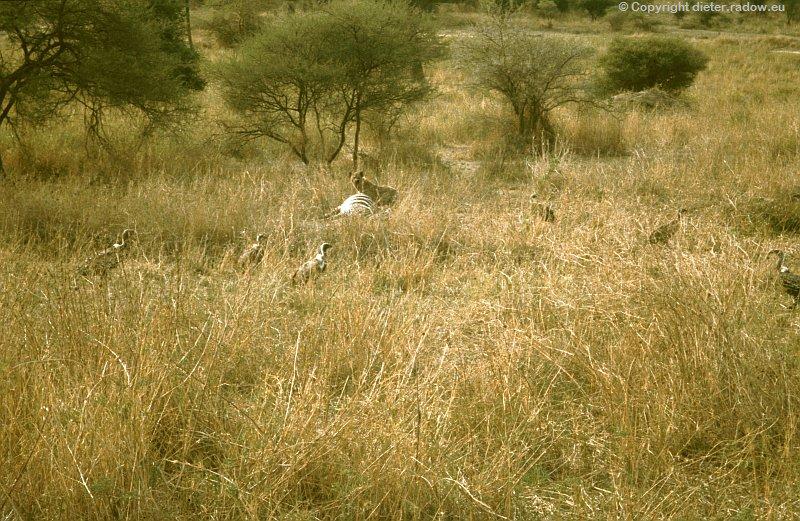 x Weißrückengeier Tansania b