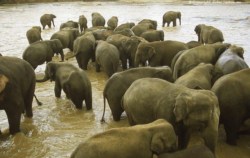Sri Lanka Elefantenbad