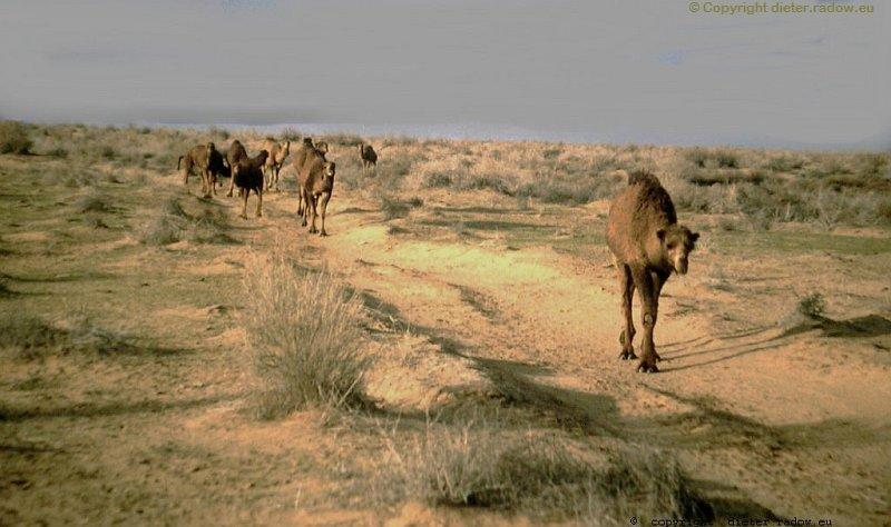 Turkmenistan - Khorasan Karakumwüste Emde der Ginsterheide