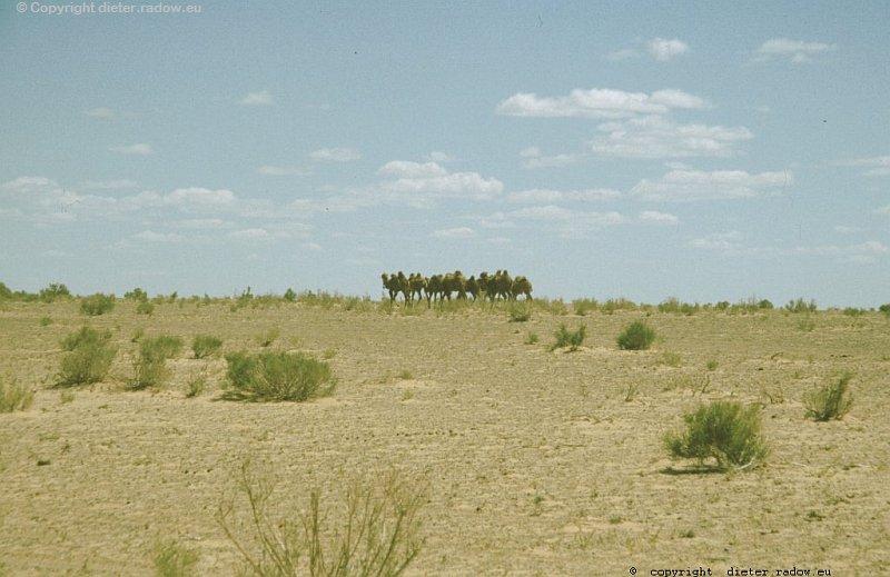 Ginster in der Wüste Karakum